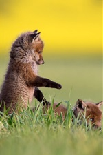 Preview iPhone wallpaper Two foxes, cubs, playful