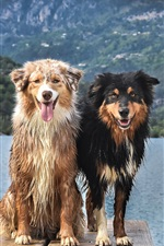 Preview iPhone wallpaper Two wet dogs, lake