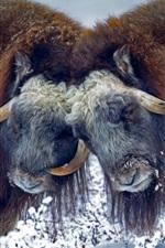 Preview iPhone wallpaper USA, Alaska, musk ox, horns, snow