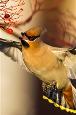 Waxwing, vôo de pássaros, asas, bagas vermelhas