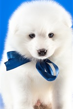 White dog, blue background