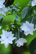 Preview iPhone wallpaper White flowers, hydrangea, leaves