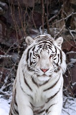 Preview iPhone wallpaper White tiger front view, snowy