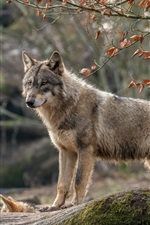 Preview iPhone wallpaper Wolf look, forest