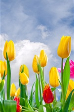 Preview iPhone wallpaper Yellow and pink tulips, flowers field, sky, clouds