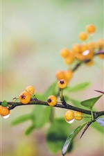 Preview iPhone wallpaper Yellow berries, dewdrops, twigs