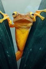 iPhone обои Желтая лягушка, листва