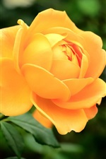 Yellow rose close-up, leaves