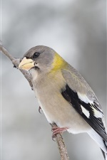 Preview iPhone wallpaper American Evening Grosbeak