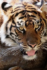 Preview iPhone wallpaper Amur tiger want to drink water