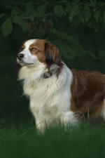 Preview iPhone wallpaper Australian shepherd, furry dog, grass, blurry