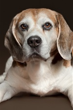 Preview iPhone wallpaper Beagle, dog, rest, front view