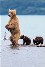 Preview iPhone wallpaper Bear standing, cubs, seagull, sea