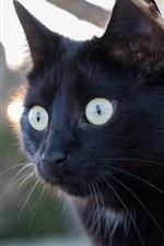 Black cat, look, eyes, twigs