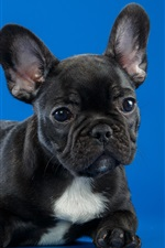 Preview iPhone wallpaper Black puppy, blue background