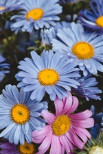 Preview iPhone wallpaper Blue and pink flowers, daisy