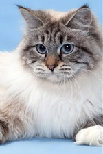 Preview iPhone wallpaper Blue eyes cat, furry pet
