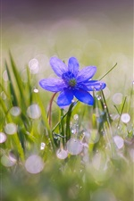 Blue flower bloom, grass, water drops, spring