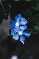 Flores azuis, gotas de água, folhas
