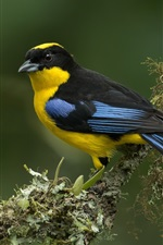 Preview iPhone wallpaper Blue-winged mountain-tanager
