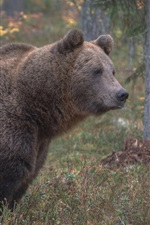Preview iPhone wallpaper Brown bear side view, grass, trees
