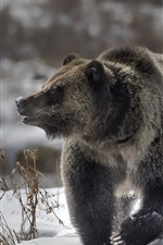 Preview iPhone wallpaper Brown bear walk in the snow