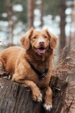Preview iPhone wallpaper Brown dog rest on stump
