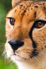 Preview iPhone wallpaper Cheetah, wild cat, face, eyes