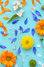 Preview iPhone wallpaper Chrysanthemum, petals, yellow flowers, blue background