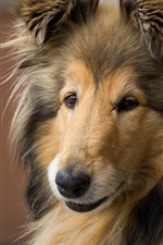Preview iPhone wallpaper Collie, furry dog, face, eyes
