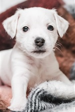 Preview iPhone wallpaper Cute white puppy, blanket