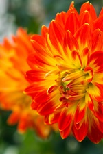 Preview iPhone wallpaper Dahlia flowering, yellow-red petals