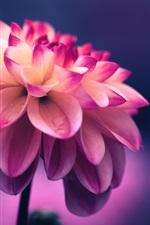 Preview iPhone wallpaper Dahlia, pink petals, water drops, bokeh