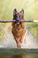 Preview iPhone wallpaper Dog catch stick running in the water