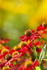Preview iPhone wallpaper Echinacea, red flowers