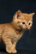 Preview iPhone wallpaper Furry brown kitten
