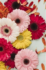 Preview iPhone wallpaper Gerbera, pink, red, yellow, white flowers, petals