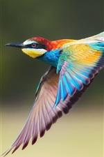 Golden bee-eater, flight, wings