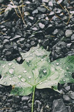 Preview iPhone wallpaper Green maple leaf, water drops, stones