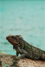 Preview iPhone wallpaper Iguana, stone, sea