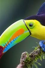 iPhone fondos de pantalla Tucán iridiscente, jungla, pájaro