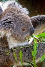 iPhone fondos de pantalla Koala, cachorro, árbol