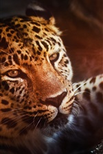 Preview iPhone wallpaper Leopard, face, paw, look