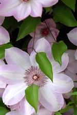 Светло-розовые цветы клематиса