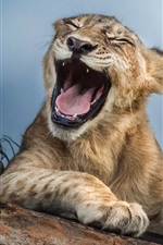 Preview iPhone wallpaper Lion yawn, animals close-up