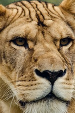 Preview iPhone wallpaper Lioness, look, face, predator