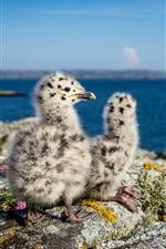 Little seagulls, Norway