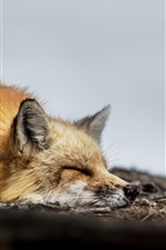 Preview iPhone wallpaper One fox sleep on ground