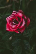 Preview iPhone wallpaper One red rose, petals, bokeh