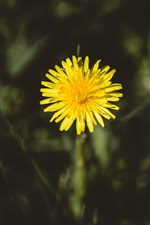 Preview iPhone wallpaper One yellow dandelion flower